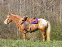 Quarterhorse - Horse - Medium - Adult - Male - Horse