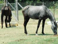 Quarterhorse - Horses - Large - Adult - Female - Horse