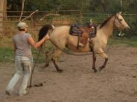 Quarterhorse - Irish Molly (buckskin) - Large - Adult -