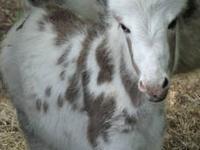 Quarterhorse - Jack - Large - Adult - Male - Horse Jack