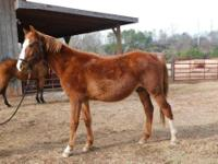 Quarterhorse - Jackson - Large - Adult - Male - Horse