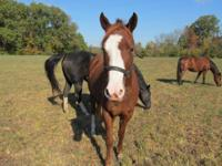Quarterhorse - Jasmine - Medium - Young - Female -