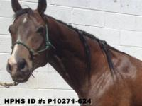 Quarterhorse - Joe - Large - Adult - Male - Horse Name: