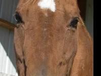 Quarterhorse - Kelos - Medium - Senior - Male - Horse A
