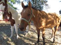 Quarterhorse - Lexie - Large - Young - Female - Horse