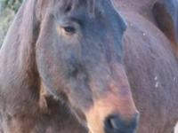 Quarterhorse - Magic - Large - Adult - Male - Horse