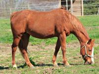 Quarterhorse - Maxine - Large - Adult - Female - Horse