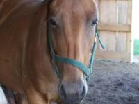 Quarterhorse - Miss Kitty - Large - Adult - Female -
