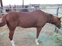 Quarterhorse - Mitch - Medium - Adult - Male - Horse