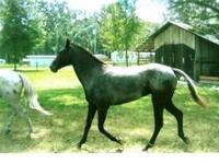 Quarterhorse - Momma - Large - Adult - Female - Horse
