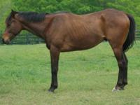 Quarterhorse - Moon - Large - Adult - Male - Horse