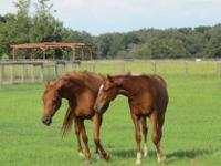 Quarterhorse - Morning Star - Medium - Young - Male -