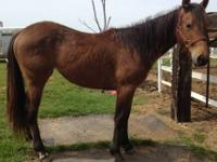 Quarterhorse - Oona - Medium - Young - Female - Horse