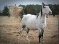 Quarterhorse - Outlaw - Large - Adult - Male - Horse