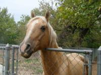Quarterhorse - Pirate - Large - Adult - Male - Horse