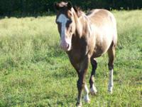 Quarterhorse - Pumpernickel - Large - Adult - Male -