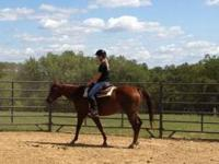 Quarterhorse - Quinn 15 Hh Rider - Medium - Adult -
