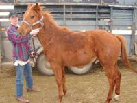 Quarterhorse - Rebel - Small - Young - Male - Horse