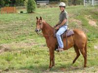 Quarterhorse - Red Bean - Large - Adult - Female -