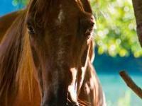 Quarterhorse - Red - Large - Adult - Female - Horse Red