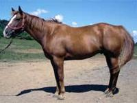 Quarterhorse - Red - Medium - Adult - Male - Horse RED