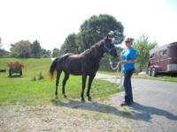 Quarterhorse - Retirement Home Needed - Large - Senior