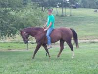 Quarterhorse - Rooster - Large - Adult - Male - Horse