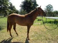 Quarterhorse - Rosa - Medium - Young - Female - Horse