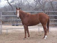 Quarterhorse - Sady - Large - Adult - Female - Horse