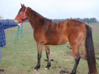 Quarterhorse - Sahara - Medium - Young - Female -