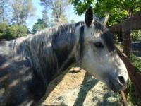 Quarterhorse - Sassy - Medium - Adult - Female - Horse