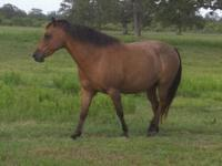 Quarterhorse - Sassy - Medium - Young - Female - Horse