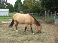Quarterhorse - Scarlett - Large - Adult - Female -