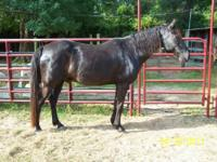 Quarterhorse - Schryder - Large - Senior - Male -