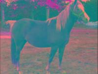 Quarterhorse - Shiloh - Large - Adult - Female - Horse