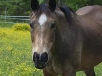 Quarterhorse - Sissy - Medium - Young - Female - Horse