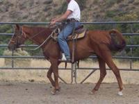Quarterhorse - Squirrel - Large - Adult - Male - Horse