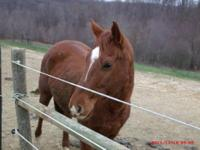 Quarterhorse - Stevie - Medium - Adult - Male - Horse