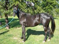 Quarterhorse - Sugarfoot - Medium - Adult - Female -