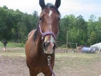 Quarterhorse - Teddy - Large - Adult - Male - Horse