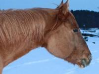 "Quarterhorse - The Cool Sweep ""charlie"" - Large - Adult"