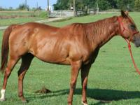 Quarterhorse - Tizzy - Medium - Adult - Female - Horse