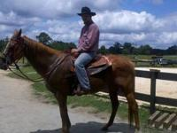Quarterhorse - Tony - Medium - Senior - Male - Horse