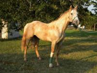 Quarterhorse - Tyson - Medium - Adult - Male - Horse