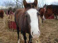 Quarterhorse - Vandy - Medium - Young - Male - Horse