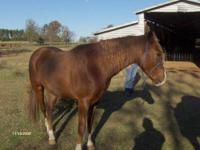 Quarterhorse - Waylon - Medium - Adult - Male - Horse