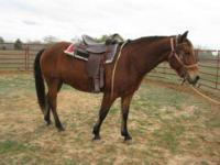 Quarterhorse - Weddo - Extra Large - Adult - Male -