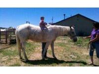 Quarterhorse - Willy - Medium - Adult - Male - Horse