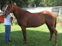 Quarterhorse - Windy - Medium - Adult - Female - Horse