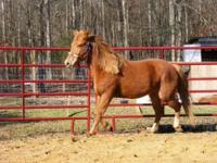 Quarterhorse - Zera - Medium - Adult - Female - Horse
